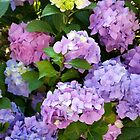 colorful hydrangea by feiermar