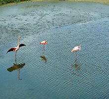 Galapagos Flamingoes Artwork by Al Bourassa