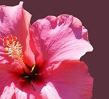 Pink Hibiscus by Margaret Stevens