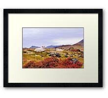 Icelandic sheep Framed Print