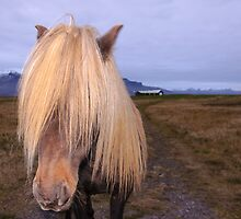 Icelandic Horse with impressing mane by Stanciuc