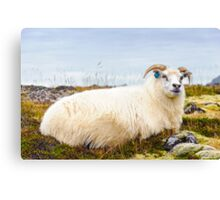 Icelandic sheep Canvas Print