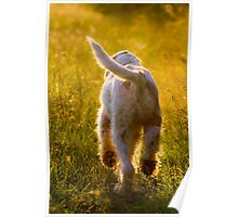 Orange & White Italian Spinone Dog in Action Poster