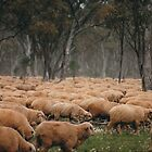 Droving Sheep at Albert  © Vicki Ferrari by Vicki Ferrari