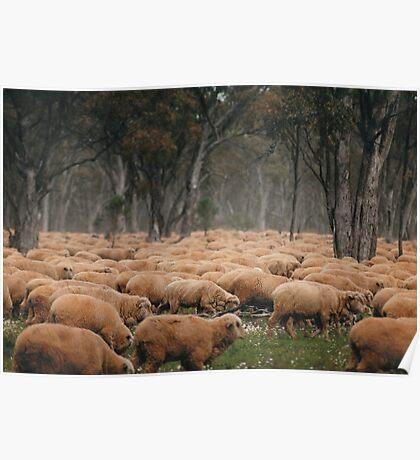 Droving Sheep at Albert  © Vicki Ferrari Poster