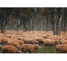 Droving Sheep at Albert  © Vicki Ferrari Photographic Print
