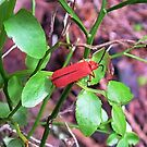 Bark Beetle - Cucujidae by AnnDixon