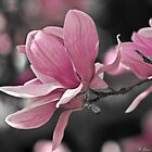 Pink Magnolia by Lee Hiller