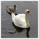 Swan & Sygnet by ©The Creative  Minds