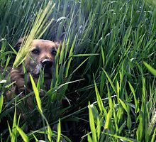 Dog in Wheat Field by mitchoz