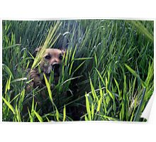 Dog in Wheat Field Poster