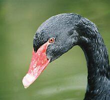 Black Swan by jmethe