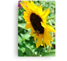 Buzzing for Sunflowers Canvas Print