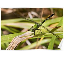 Green Clearwing Poster