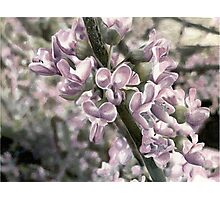 Redbud Photographic Print