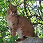 Bobcat by virginian