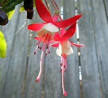 Fuchsias in the garden by minorbubbles
