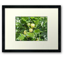 Vegetable Garden: Gooseberries  Framed Print