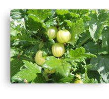 Vegetable Garden: Gooseberries  Canvas Print