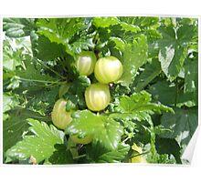 Vegetable Garden: Gooseberries  Poster