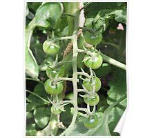 Vegetable Garden: Tomatoes Poster