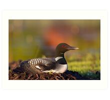 Common loon on nest Art Print