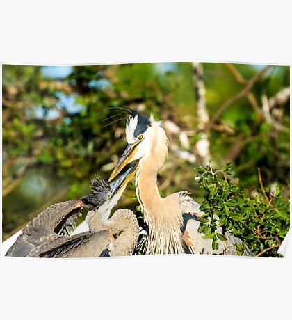 Great Blue Herons Adult with Young Poster