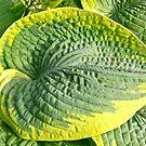 Huge Hosta Leaf by Shulie1