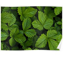 Green strawberry leaves Poster