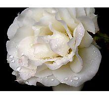 Wet White Rose Photographic Print