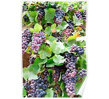 Violet grapes and leaves in countryside vineyard Poster