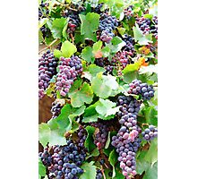 Violet grapes and leaves in countryside vineyard Photographic Print