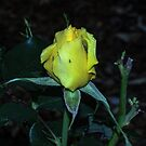 Yellow rose Leith Park Victoria 201605217005  by Fred Mitchell