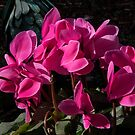 Red Cyclamen Flower group Leith Park Victoria 201605247012 by Fred Mitchell