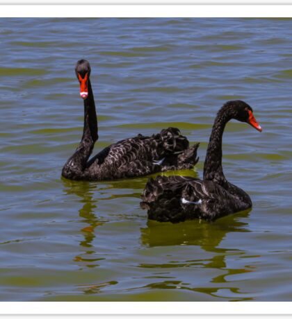 Black swans Sticker