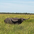 Bamurru Buffalo by Christina Backus