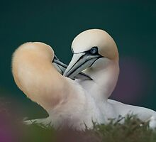 Northern Gannets by Andy Beattie