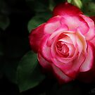 Rose. by Jeanette Varcoe.