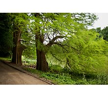 Two monumental swamp cypresses Photographic Print