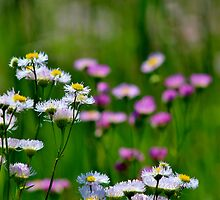 Pink Daisy Fleabane by Kathleen Daley