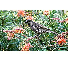 Young Red Wattlebird Photographic Print