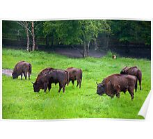European bisons Poster