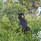 Yellow-tailed Black Cockatoo by Trish Meyer