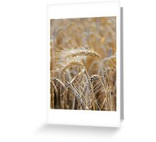 Ripe heads of golden wheat in the field Greeting Card