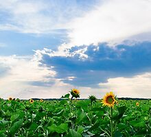View of field with blooming sunflowers with sunset in background by Stanciuc