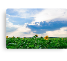 View of field with blooming sunflowers with sunset in background Canvas Print
