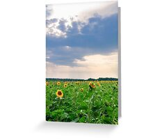 View of field with blooming sunflowers with sunset in background Greeting Card