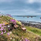 Sea Thrift on Holy Island by vivsworld