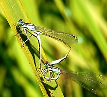 Damselflies Mating......... by lynn carter
