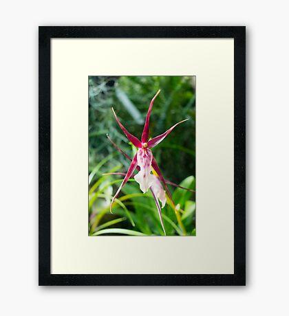 Star Orchid Framed Print